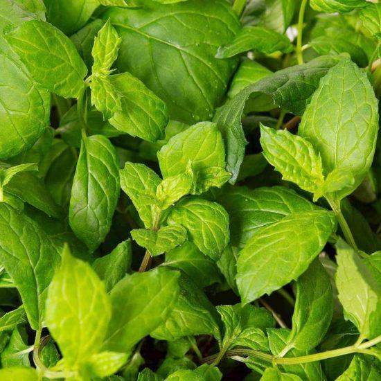 Kapsule s semeni Plantui meta (Mint)