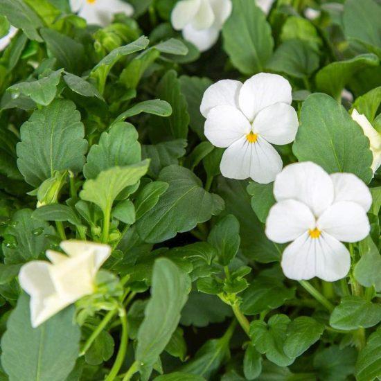 Kapsule s semeni Plantui bela vijolica (Viola White)