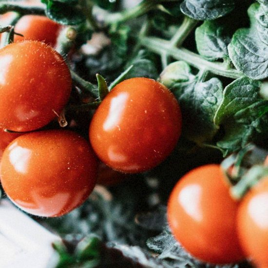 Kapsule s semeni Plantui češnjev paradižnik rdeč (Cherry Tomato Red)